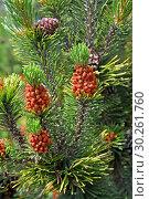 Купить «Цветущая сосна обыкновенная  (Pinus sylvestris L.)», фото № 30261760, снято 1 июня 2016 г. (c) Ирина Борсученко / Фотобанк Лори