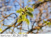 Женские соцветия цветущей ивы козьей (Salix caprea) Стоковое фото, фотограф Алёшина Оксана / Фотобанк Лори