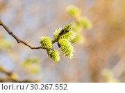 Купить «Ива козья (Salix caprea). Женское соцветие», фото № 30267552, снято 12 апреля 2016 г. (c) Алёшина Оксана / Фотобанк Лори