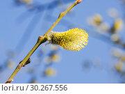 Мужское соцветие цветущей ивы козьей (Salix caprea) Стоковое фото, фотограф Алёшина Оксана / Фотобанк Лори