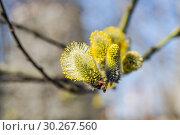 Купить «Мужские соцветия цветущей ивы козьей (Salix caprea)», фото № 30267560, снято 12 апреля 2016 г. (c) Алёшина Оксана / Фотобанк Лори