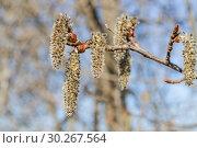 Купить «Осина обыкновенная (Populus tremula). Женские соцветия», фото № 30267564, снято 12 апреля 2016 г. (c) Алёшина Оксана / Фотобанк Лори