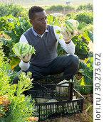 Купить «Man gathering in crops of cauliflower», фото № 30273672, снято 21 февраля 2019 г. (c) Яков Филимонов / Фотобанк Лори