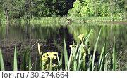 Купить «Iris pseudacorus yellow flag, yellow iris, water flag, lever is a species in the genus Iris, of the family Iridaceae on the bank of the lake in sunny day», видеоролик № 30274664, снято 6 марта 2009 г. (c) Куликов Константин / Фотобанк Лори