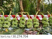 Купить «Felled banana trees with many bunches of green fruit lying outdoors», фото № 30274704, снято 15 февраля 2019 г. (c) Andriy Bezuglov / Фотобанк Лори