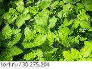 Купить «Summer nature background. Leaves of bishop's weed, in Latin Aegopodium podagraria under soft sunlight», фото № 30275204, снято 17 августа 2018 г. (c) Зезелина Марина / Фотобанк Лори