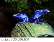 Купить «Лягушка голубой древолаз. Dyeing Poison Frog», фото № 30306904, снято 3 ноября 2016 г. (c) Галина Савина / Фотобанк Лори