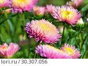 Купить «Астры розовые (Callistephus chinensis)», фото № 30307056, снято 17 сентября 2018 г. (c) Татьяна Белова / Фотобанк Лори