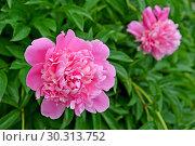 Купить «Два розовых цветка пиона (Paeonia L.)», фото № 30313752, снято 1 июня 2016 г. (c) Ирина Борсученко / Фотобанк Лори