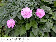 Куст розовых цветов пиона (Paeonia L.) Стоковое фото, фотограф Ирина Борсученко / Фотобанк Лори