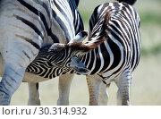 Купить «Common zebra Equus burchelli, mare lactating foal, Africa, Namibia, Etosha NP, Apr 04.», фото № 30314932, снято 27 мая 2019 г. (c) age Fotostock / Фотобанк Лори