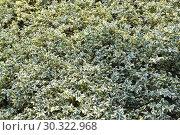 """Купить «Самшит вечнозелёный, форма """"Variegata"""" (Buxus sempervirens L., """"Variegata""""). Фон», фото № 30322968, снято 12 августа 2017 г. (c) Ирина Борсученко / Фотобанк Лори"""
