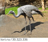 Demoiselle crane (Grus virgo) Стоковое фото, фотограф Валерия Попова / Фотобанк Лори
