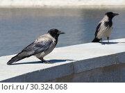 Купить «Серые вороны (лат. Corvus cornix)», фото № 30324068, снято 15 июня 2018 г. (c) Елена Коромыслова / Фотобанк Лори