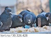 Купить «Wild city pigeons on a winter day», фото № 30326428, снято 17 февраля 2019 г. (c) Владимир Белобаба / Фотобанк Лори