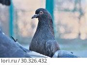 Купить «Wild city pigeons on a winter day», фото № 30326432, снято 17 февраля 2019 г. (c) Владимир Белобаба / Фотобанк Лори