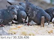 Купить «Wild city pigeons on a winter day», фото № 30326436, снято 17 февраля 2019 г. (c) Владимир Белобаба / Фотобанк Лори