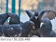 Купить «Wild city pigeons on a winter day», фото № 30326440, снято 17 февраля 2019 г. (c) Владимир Белобаба / Фотобанк Лори