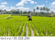 Купить «Male farmer working in beautiful rice terrace plantation near Ubud,Bali, Indonesia, south east Asia», фото № 30328296, снято 23 февраля 2019 г. (c) Matej Kastelic / Фотобанк Лори