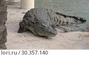 Купить «Large crocodile leaving water», видеоролик № 30357140, снято 25 марта 2019 г. (c) Данил Руденко / Фотобанк Лори