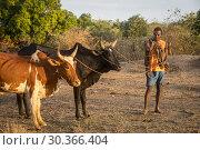 Купить «Portrait of Malagasy and Zebu cattle, surroundings of Manja village, Madagascar.», фото № 30366404, снято 24 июня 2019 г. (c) age Fotostock / Фотобанк Лори