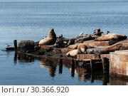 Купить «Лежбище сивучей на полуострове Камчатка», фото № 30366920, снято 20 апреля 2018 г. (c) А. А. Пирагис / Фотобанк Лори
