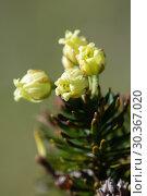 Купить «Цветущий можжевельник сибирский Juniperus sibirica», фото № 30367020, снято 28 сентября 2018 г. (c) А. А. Пирагис / Фотобанк Лори