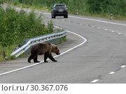 Купить «Бурый медведь переходит автодорогу», фото № 30367076, снято 31 июля 2018 г. (c) А. А. Пирагис / Фотобанк Лори