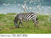 Zebra in Ngorongoro conservation area in Tanzania (2008 год). Стоковое фото, фотограф Знаменский Олег / Фотобанк Лори