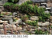 Maidenhair spleenwort (Asplenium trichomanes) at right, forked spleenwort (Asplenium septentrionale) up to the left and penny-pies (Umbilicus rupestris... Стоковое фото, фотограф J M Barres / age Fotostock / Фотобанк Лори