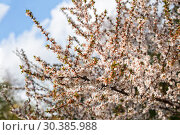 Купить «Spring natural background. Branches of beautiful blossoming almond against the blue sky», фото № 30385988, снято 12 апреля 2019 г. (c) Юлия Бабкина / Фотобанк Лори