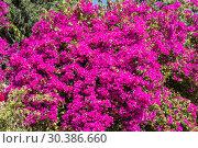 Купить «Blooming purple bougainvillea Bush», фото № 30386660, снято 9 июня 2018 г. (c) Наталья Волкова / Фотобанк Лори