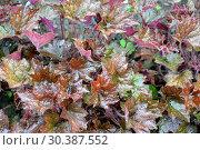 Купить «Листья гейхеры гибридной (Heuchera × hybrida). Фон», фото № 30387552, снято 29 июня 2014 г. (c) Ирина Борсученко / Фотобанк Лори