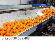 Купить «Industrial production sorting line of citrus fruits in packing plant», фото № 30389488, снято 27 июня 2019 г. (c) Яков Филимонов / Фотобанк Лори