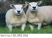 Купить «Flock of Texel ewes running with the ram in autumn», фото № 30393332, снято 30 марта 2020 г. (c) age Fotostock / Фотобанк Лори