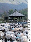 Купить «Flock of sheep gathered off the Lake District mountains into sheep folds at bottom of valley», фото № 30393432, снято 30 марта 2020 г. (c) age Fotostock / Фотобанк Лори