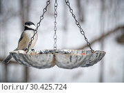 Купить «Titmouse came to a feeder to have some delicacies during a cold winter day», фото № 30425724, снято 9 февраля 2019 г. (c) Вадим Роднев / Фотобанк Лори