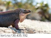 Купить «exuma island iguana in the bahamas», фото № 30435192, снято 14 февраля 2013 г. (c) Syda Productions / Фотобанк Лори