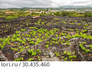 Купить «Traditional vineyard with lava walls on Pico Island, Azores», фото № 30435460, снято 3 мая 2012 г. (c) Юлия Бабкина / Фотобанк Лори