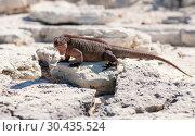 Купить «exuma island iguana in the bahamas», фото № 30435524, снято 14 февраля 2013 г. (c) Syda Productions / Фотобанк Лори