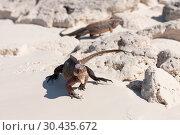 Купить «exuma island iguanas in the bahamas», фото № 30435672, снято 14 февраля 2013 г. (c) Syda Productions / Фотобанк Лори