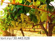 Купить «Ripe bunches of green grapes hanging», фото № 30443028, снято 17 февраля 2020 г. (c) Татьяна Яцевич / Фотобанк Лори