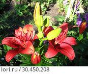 Beautiful redheaded lilies. Стоковое фото, фотограф Александр Птах / Фотобанк Лори