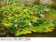 Купить «Декоративный пруд с кувшинками (лат. Nymphaea)», фото № 30451204, снято 13 сентября 2018 г. (c) Наталья Гармашева / Фотобанк Лори