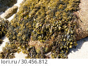 Above green sea fingers (Codium fragile) and under spiral wrack (Fucus spiralis) two brown algae. This photo was taken in Brittany, France. Стоковое фото, фотограф J M Barres / age Fotostock / Фотобанк Лори
