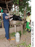 Ugandan vet artificially inseminating dairy cattle. Стоковое фото, фотограф Farm Images \ UIG / age Fotostock / Фотобанк Лори