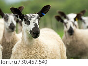 Blue Faced Leicester lambs in a lush pasture. Стоковое фото, фотограф Farm Images \ UIG / age Fotostock / Фотобанк Лори