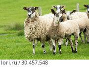 Blue Faced Leicester lamb on a mule ewe. Стоковое фото, фотограф Farm Images \ UIG / age Fotostock / Фотобанк Лори