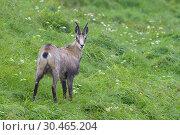 Chamois (Rupicapra rupicapra) in summer, Hohneck, Vosges, Alsace, France, Europe. Стоковое фото, фотограф Michael Breuer / age Fotostock / Фотобанк Лори