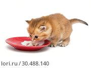 Купить «Little kitten eating sour cream», фото № 30488140, снято 18 декабря 2018 г. (c) Okssi / Фотобанк Лори